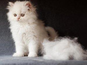 Породы котов, которые линяют круглый год